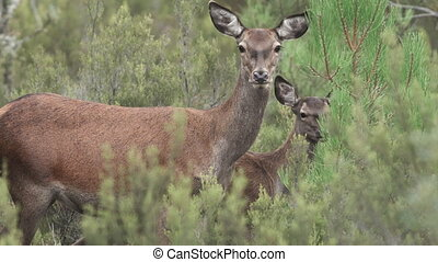 Mom and baby deer looking at camera with big ears - Wild mom...