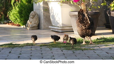 Mom chicken walks with her chickens on the lawn.