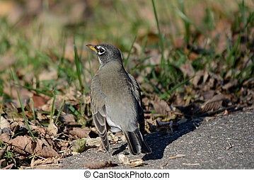 Momentary Ground Resting Robin - Bright closeup on a eastern...