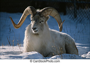 Momentary Ram Attention - Partially shaded winter portrait ...