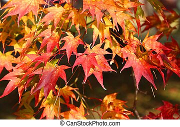 Momiji autumn - Autumn leaves in Japan - red and orange ...