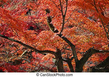 Momiji in Japan - Autumn leaves in Japan - red and orange ...