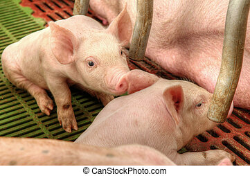 momma, 豬, 喂, 嬰孩, 豬