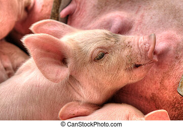 Momma pig feeding baby pigs - Little piglets suckling their...