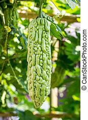 Momordica charantia often called bitter melon, bitter gourd or b