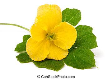 momordika flower with leaf isolated on white background close-up macro