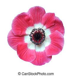 mona lisa, rózsaszínű, elpirul, virág