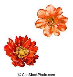 mona lisa, virág, piros virág, eredet, flower.isolated,...