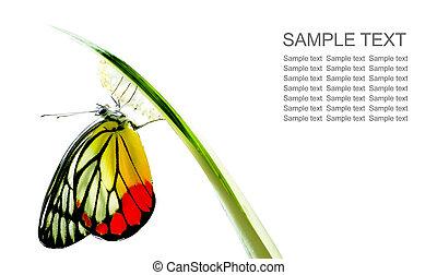monarca, nacido, bebé, mariposa, plano de fondo, aislado, milkweed, naturaleza, manía, blanco