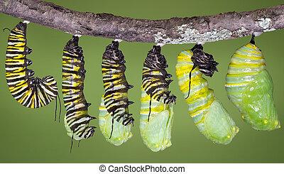 monarca, oruga, cobertizo, a, crisálida