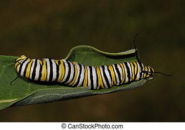 monarca, oruga