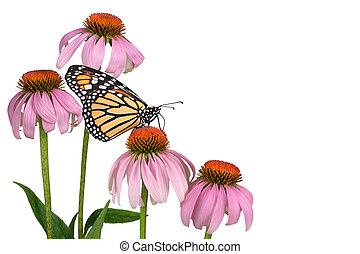 A monarch butterfly is sipping nectar from a coneflower. This makes a nice butterfly background or border.