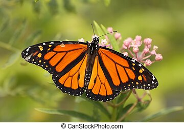 Monarch beauty - A Beautiful Monarch with wings wide open.
