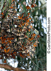 Monarch Butterflies gather in large groups during migration to the central coast near Pismo Beach trees provide a tranquil area for the beautiful orange and black dotted with white insect to develop into the next stage of life