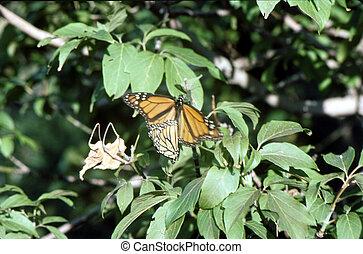 Monarch Butterflies H-159 - Monarch butterfly\\\'s on a tree...