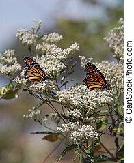 Monarch Butterflies on Milkweed