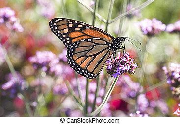 Monarch Butterfly 1