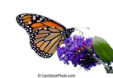 Monarch Butterfly - A beautiful monarch butterfly enjoying...