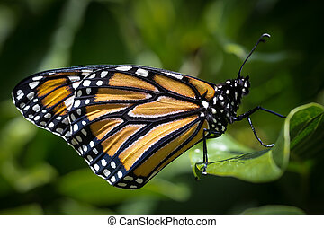 Monarch Butterfly - A monarch butterfly viewed from side.