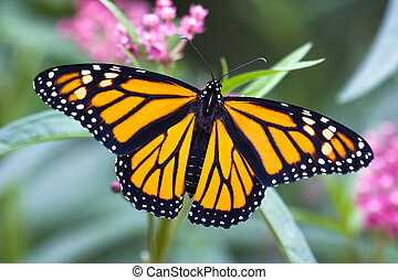 Monarch Butterfly - A newly emerged male Monarch butterfly...