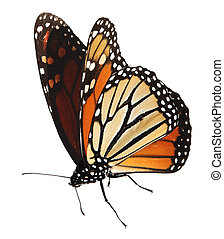 Alive monarch butterfly isolated on white, clipping path