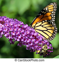 Monarch Butterfly and bee on a buddleja flower