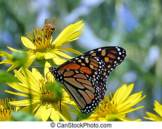 Monarch butterfly and bee on Yellow Ragwort flower