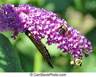 Monarch Butterfly and bees on a buddleja flower