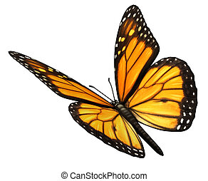 Monarch Butterfly isolated on a white background angled in a three quarter view with open wings as a natural symbol of flying migratory insect butterflies that represents summer and the beauty of nature.