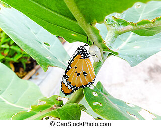 Monarch Butterfly,  baby born in the nature.