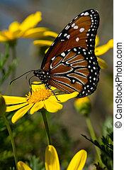 Monarch butterfly - Beautiful open winged butterfly on a...