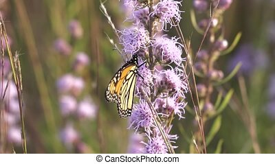Monarch butterfly busily gathers nectar from a blazing star flower.