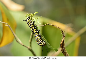 Monarch butterfly caterpillar