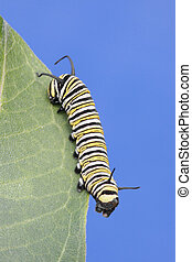 Monarch Butterfly Caterpillar (danaus plexippus)