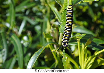 Monarch butterfly caterpillar Insect