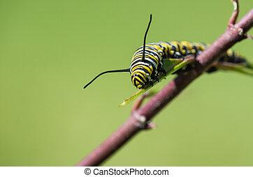 Monarch Butterfly Caterpillar On Milkweed