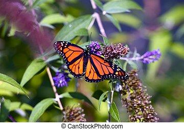 Monarch Butterfly Closeup. Spring in the Garden. Monarch...