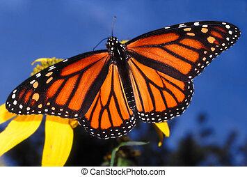 Monarch Butterfly (Danaus plexippus) at Deer Run Forest ...