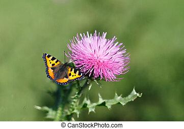 Monarch butterfly, Danaus plexippus, feeding on a milk...