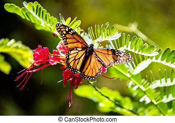Monarch butterfly (Danaus plexippus) in the Waimea Valley on...