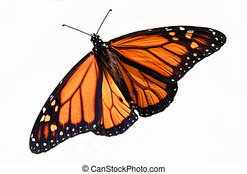Monarch Butterfly (danaus plexippus) Isolated