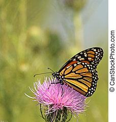Monarch Butterfly, Danaus plexippus - Monarch butterfly,...