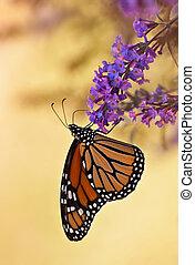 Monarch butterfly, Danaus plexippus - Monarch butterfly on...