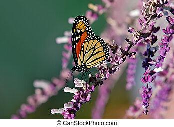 Monarch butterfly Danaus plexippus - Monarch (Danaus...