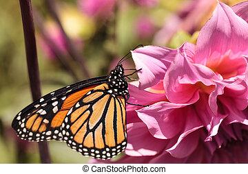 Monarch butterfly, Danaus plexippus, on a bush in spring in...