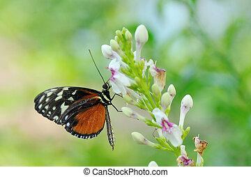Monarch butterfly  (Danaus plexippus) on a flower in summer