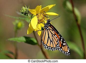Monarch Butterfly (danaus plexippus) on a yellow flower