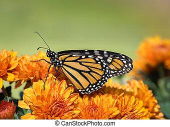 Monarch butterfly (Danaus plexippus) on autumn flowers -...