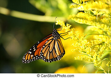 Monarch Butterfly - Danaus plexippus on Goldenrod flower