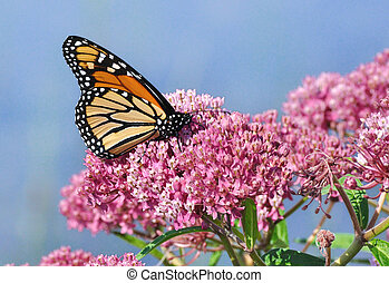 Monarch Butterfly (Danaus plexippus) on Swamp Milkweed...